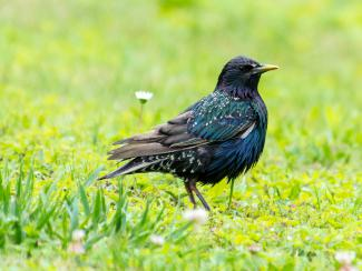 Starling on the lawn