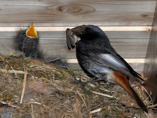 Black redstart feeding