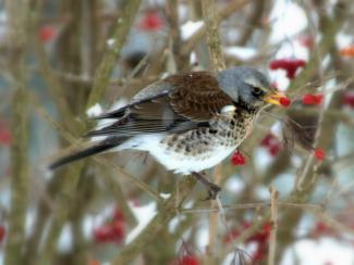 Fieldfare eating berries