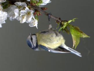 Blue tit on apple blossom