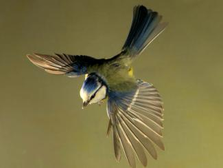 Top view of a blue tit