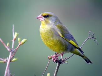 Greenfinch sitting