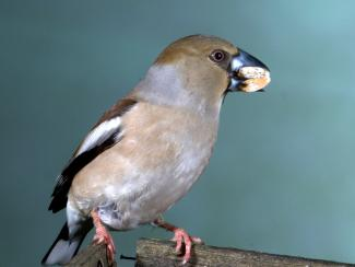 Hawfinch eating frozen peanuts