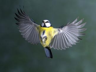 Blue Tit in full flight