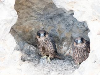 Eleanors' falcons