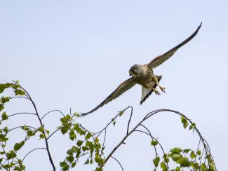 Male Kestrel flying