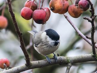 Marsh Tit and crab apples
