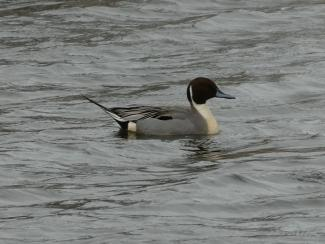 Pintail - male
