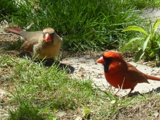 Northern Cardinal male and female