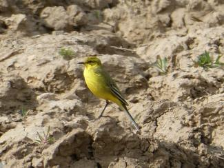 Yellow Wagtail - UK yellow headed