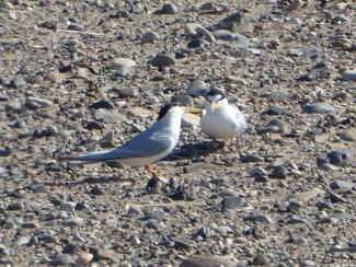 Little Tern, male & female