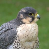 Hybrid Peregrine and Gyrfalcon